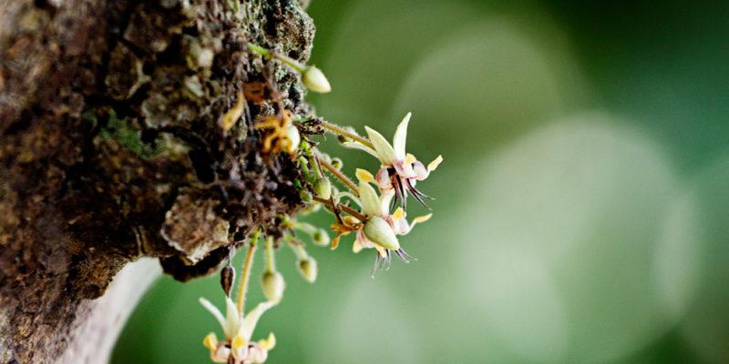 Fleurs de cacaoyer